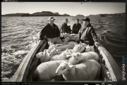 FAO-Morreys-sheep-TorsCove-1810