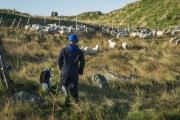 Morreys-sheep-TorsCove-0535