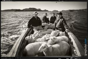 FAO-Morreys-sheep-TorsCove-1810.jpg