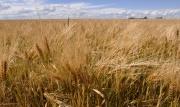 Prairie wheat
